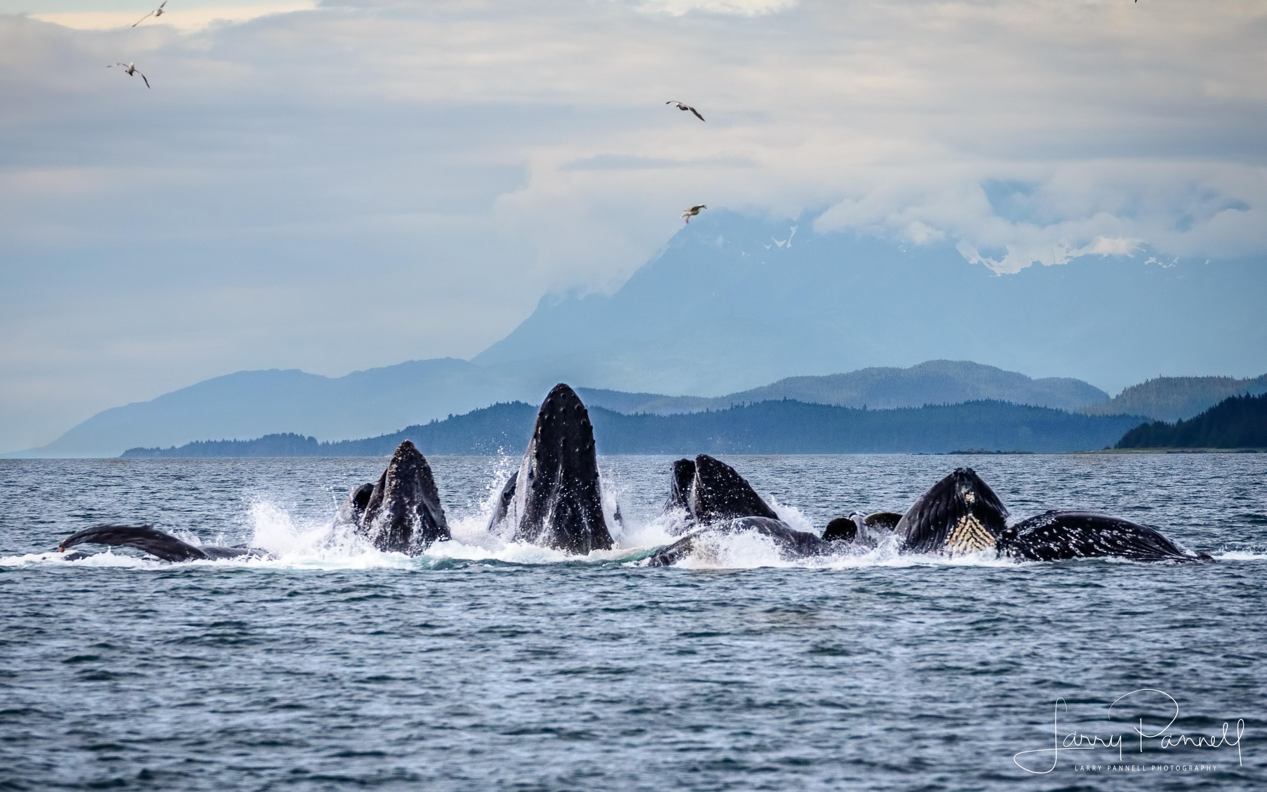 whales bubblenet 3