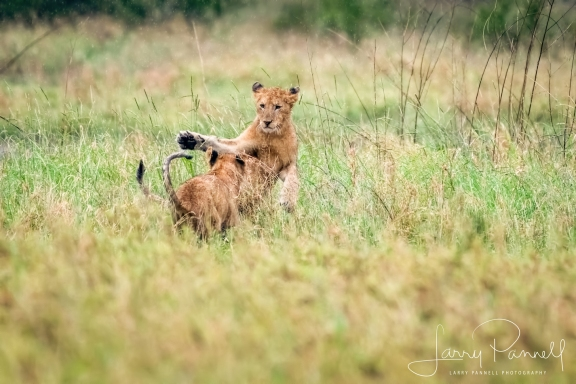 lion cubs1_190