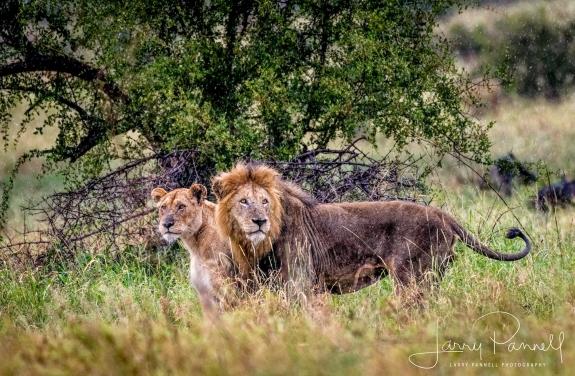 lion_lioness1_190