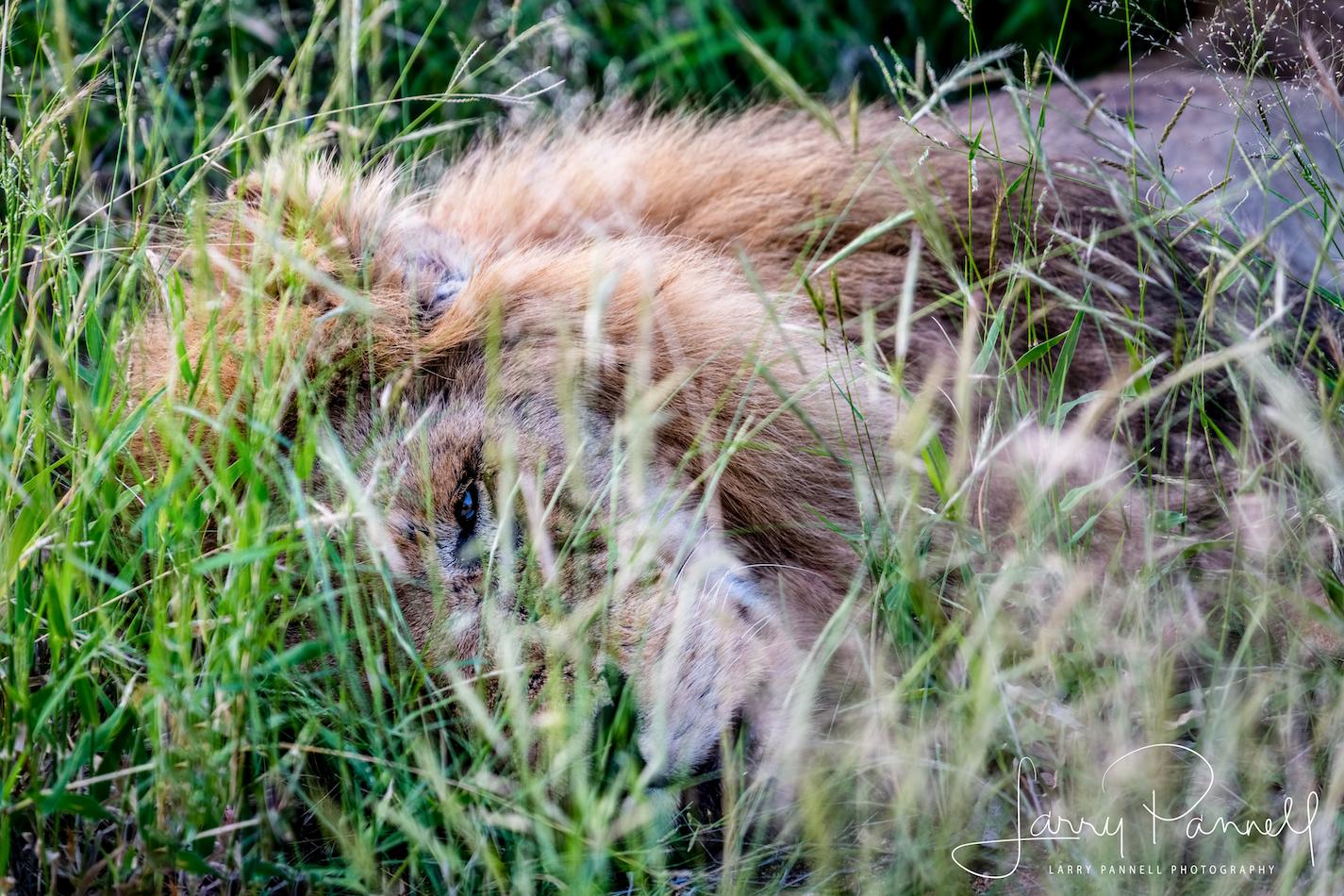 やせたかなしい老ライオンが激写される  [657220922]->画像>17枚