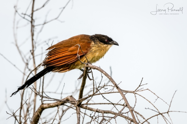 burchell's coucal1 copy