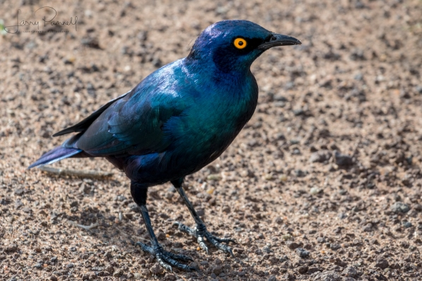 burchell's starling copy