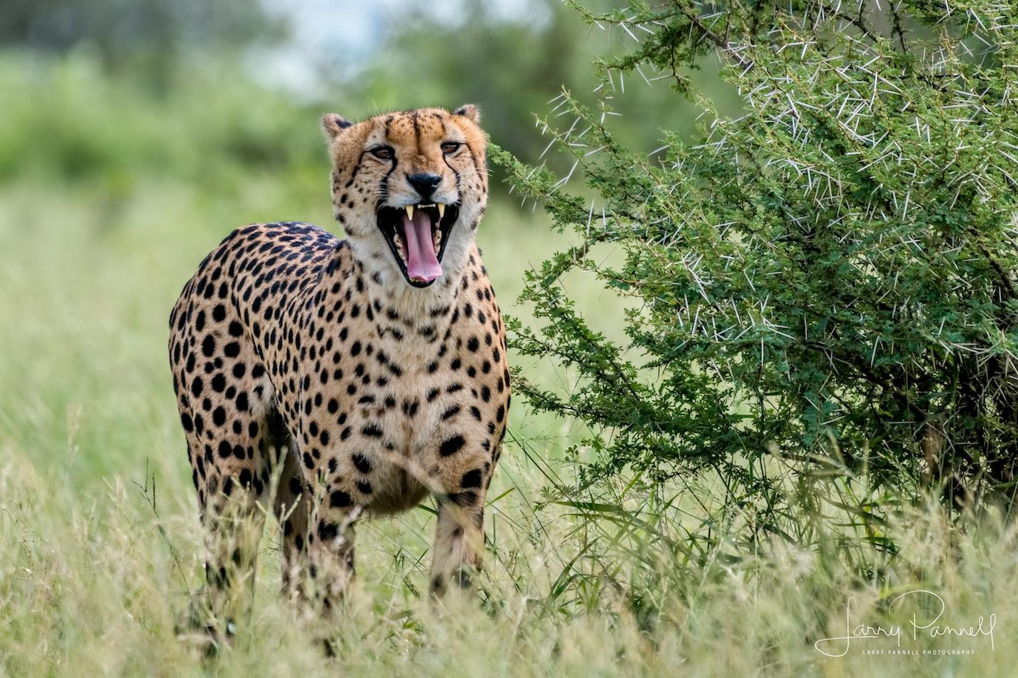 cheetah_kruger1 copy