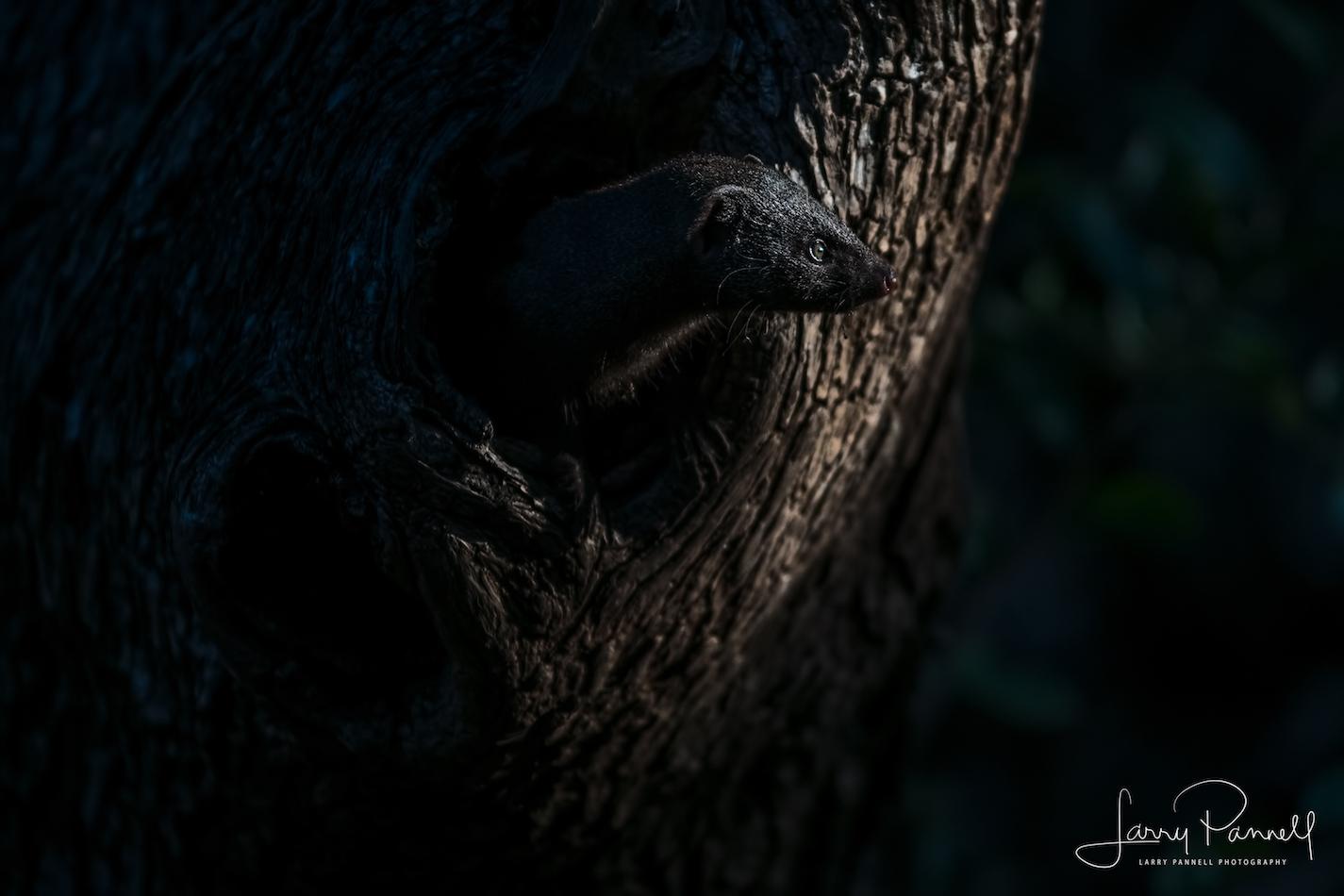 dwarf mongoose tree1