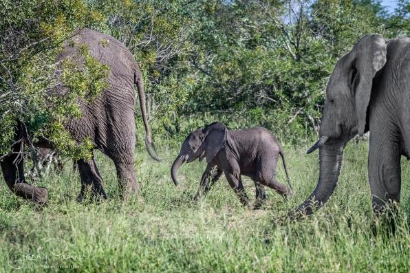 elephant baby_kruger1 copy