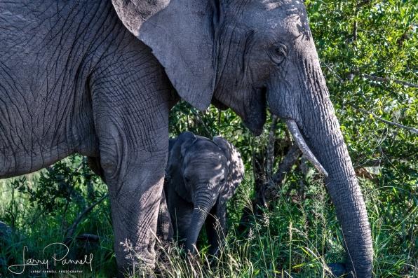 elephant baby_kruger2 copy