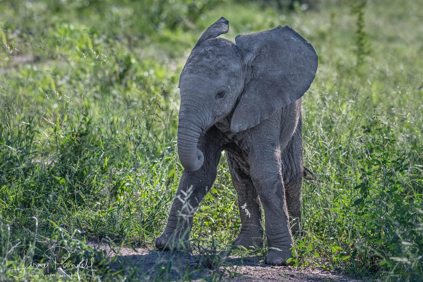 elephant baby_kruger3 copy