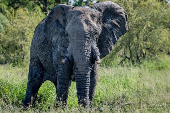 elephant_kruger1 copy