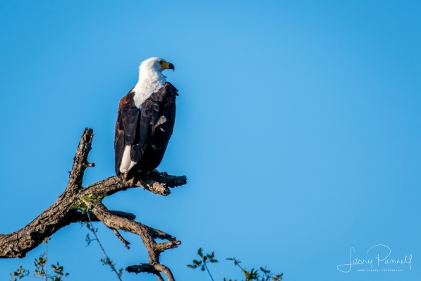 fish eagle1 copy