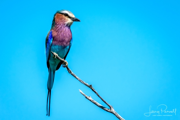 lilac breasted roller_kruger1 copy