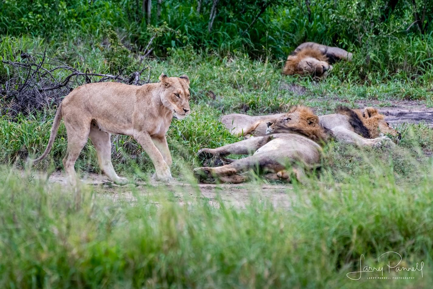 lion_limp_kruger1 copy