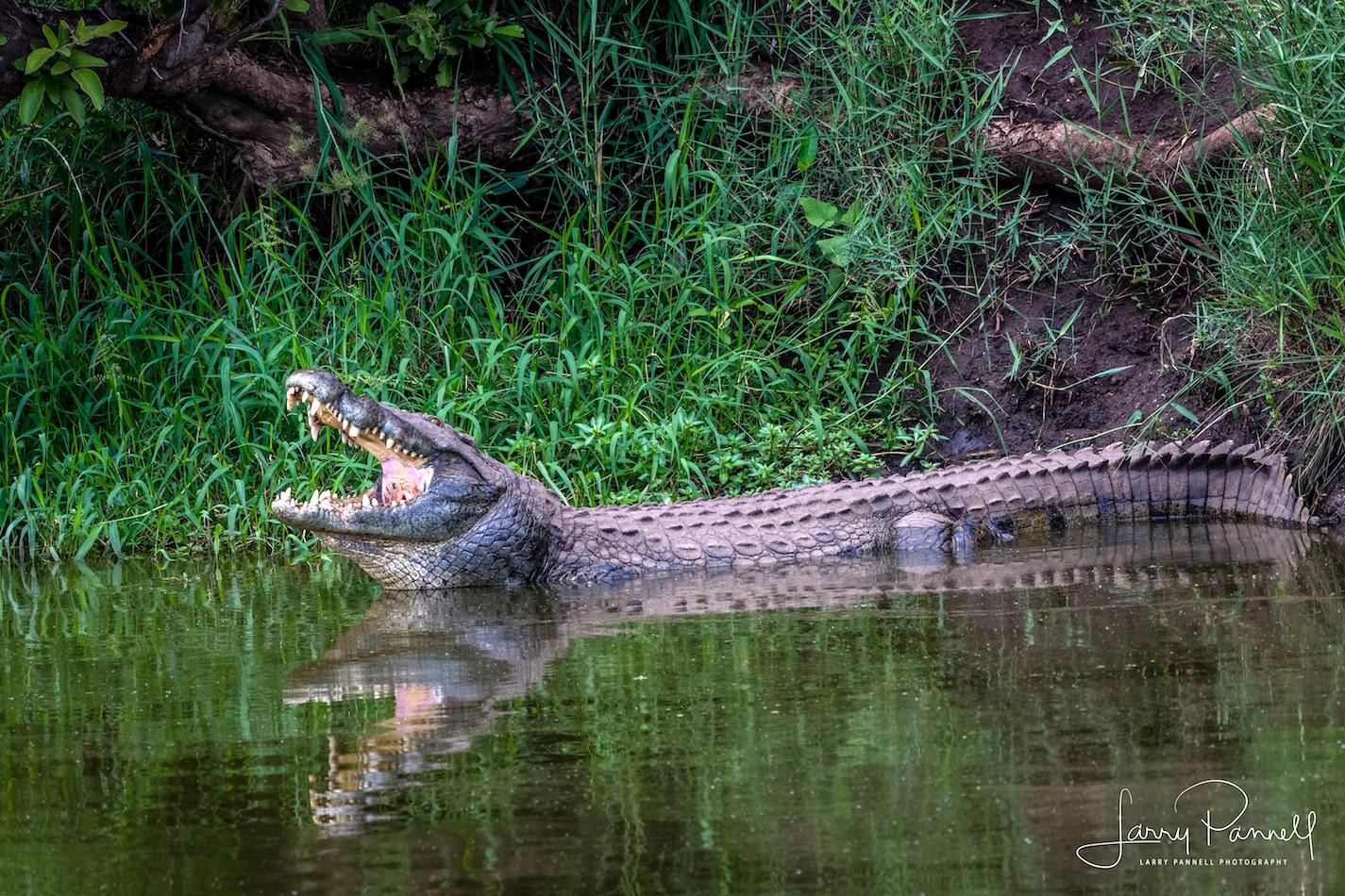 nile crocodile_kruger1 copy