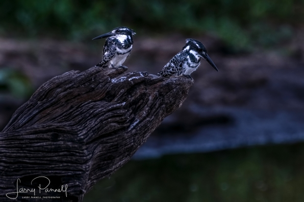 pied kingfisher_kruger1 copy