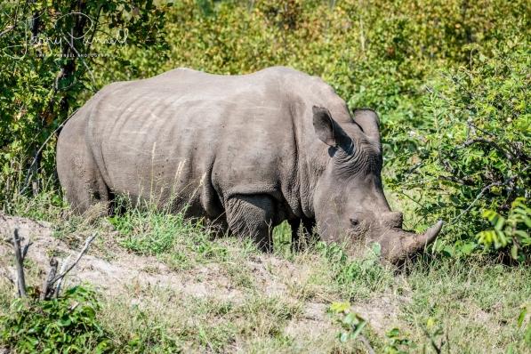 rhino_kruger1 copy