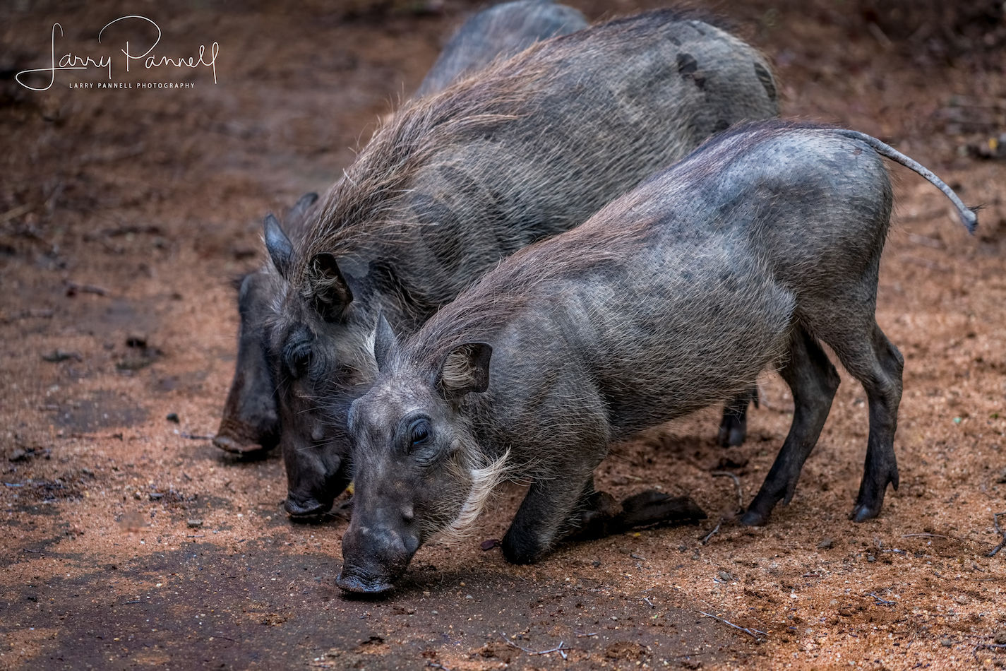 warthog babies1