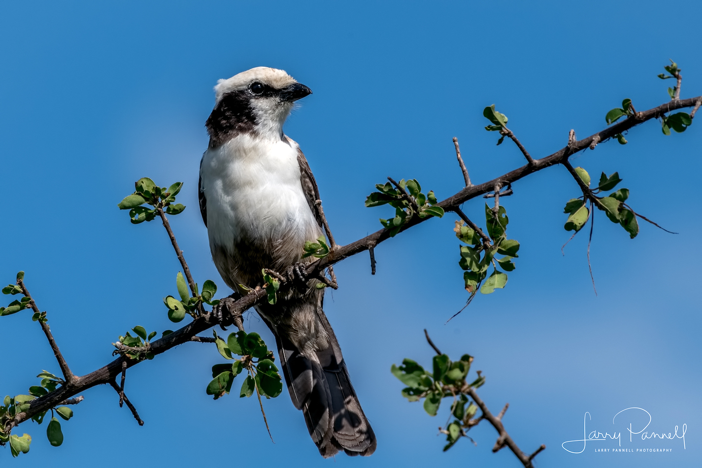white crowned shrike_kruger1 copy
