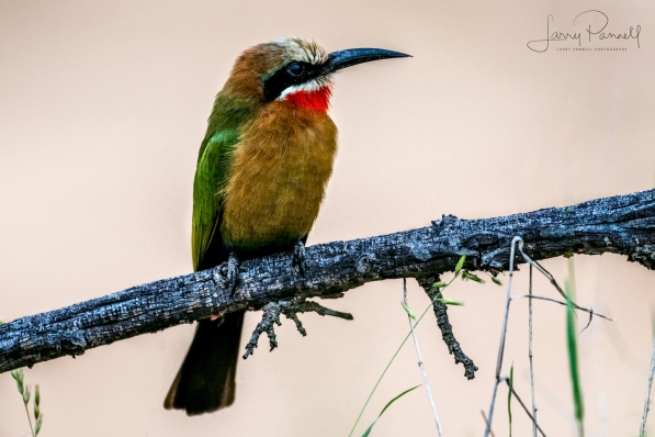 white fronted bee eater1 copy