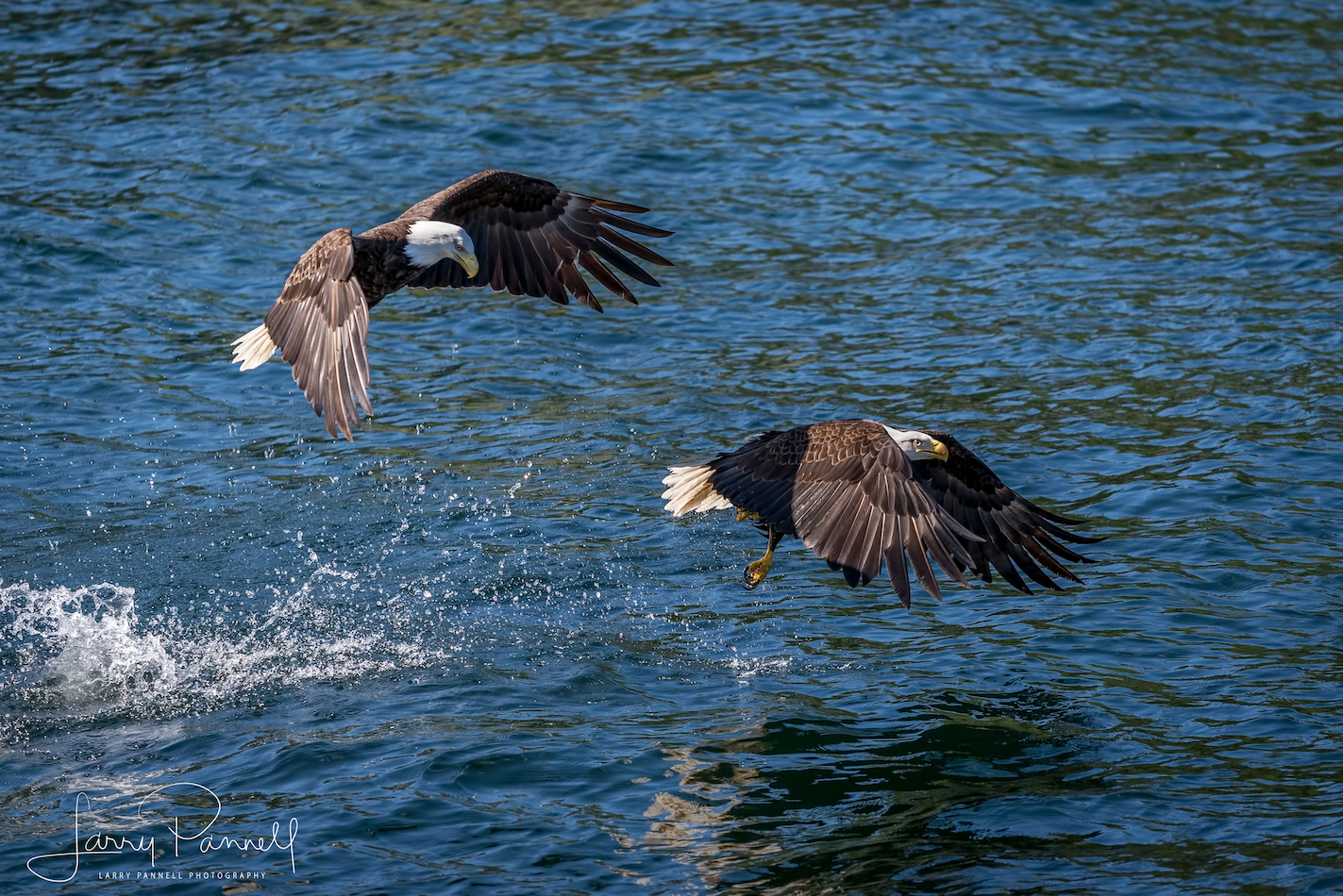 aleutian ballad_eagles fishing1_190