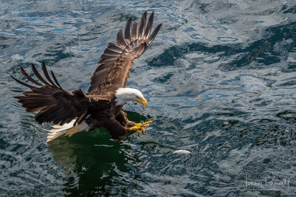 aleutian ballad_eagles fishing4_190