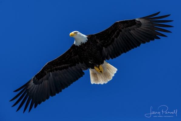 aleutian ballad_eagles soaring1 copy