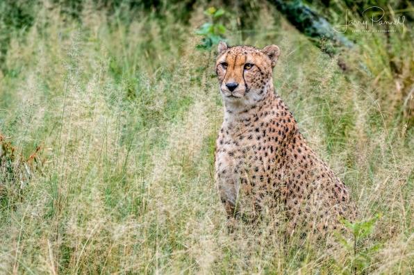 cheetah_dewildt1