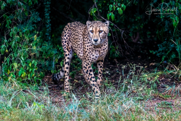 cheetah_dewildt2 copy
