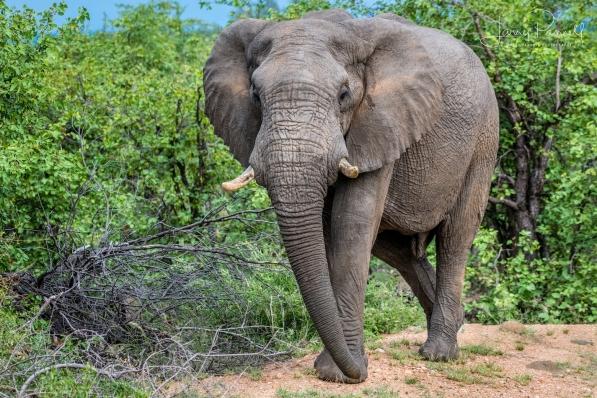 elephant_ingwelala1 copy