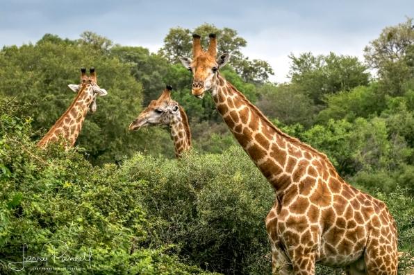 giraffe_kruger2 copy