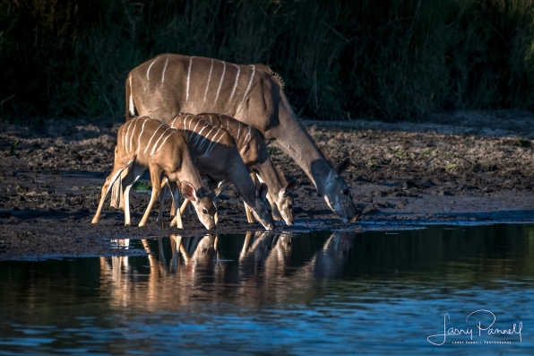 kudu doe_kruger1 copy