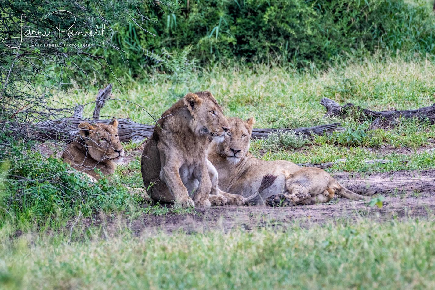 lion pride_female_kruger1 copy