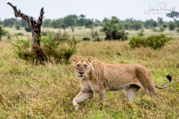 lioness hunting_kruger1 copy