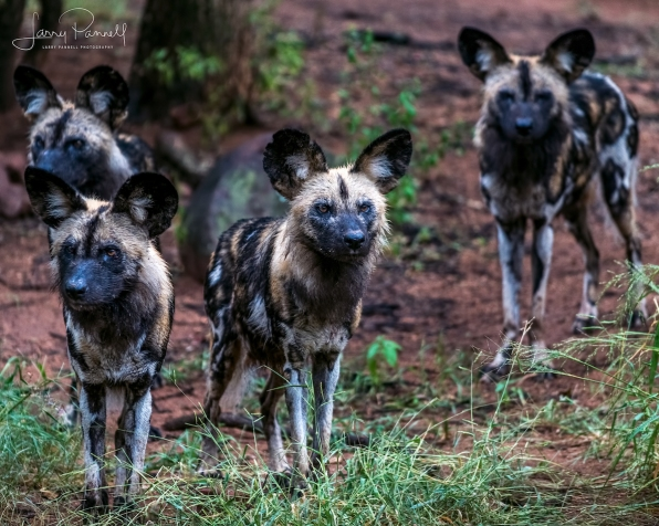 wild dog group_kruger1 copy