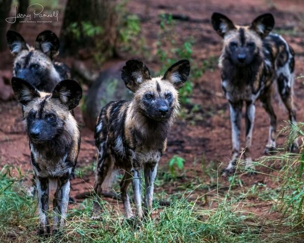 wild dog group_kruger1 copy