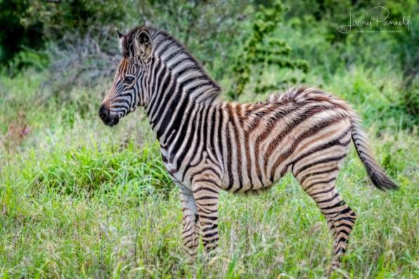 zebra baby_kruger1 copy