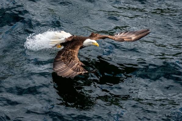 Bald Eagle Fish_8834 copy