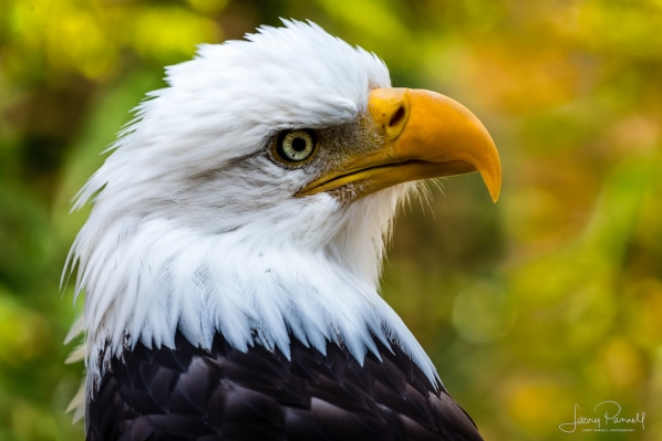 Bald Eagle_8750 copy