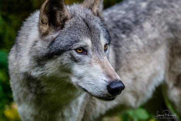 Grey Wolf_9816 copy