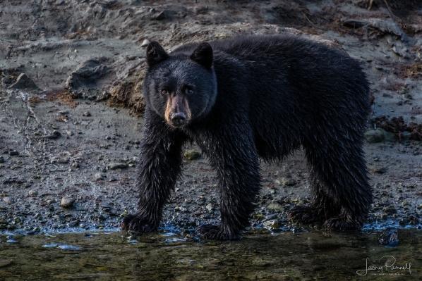 Ketchikan_blk bear cub_9671 copy