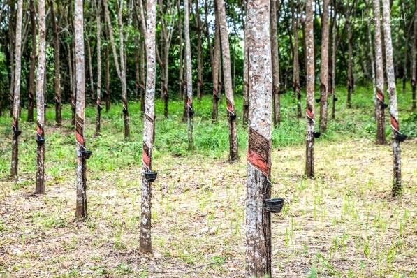 D85_0477_rubber trees