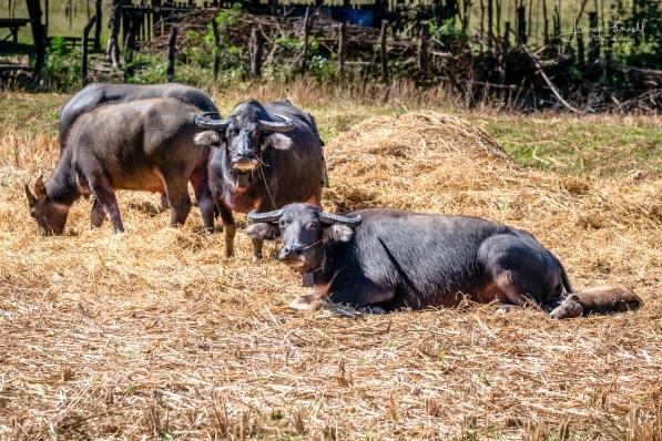 D85_0844_water buffalo