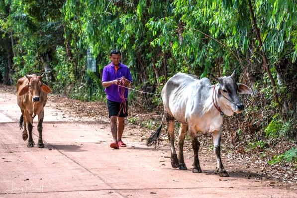 D85_0865_cows