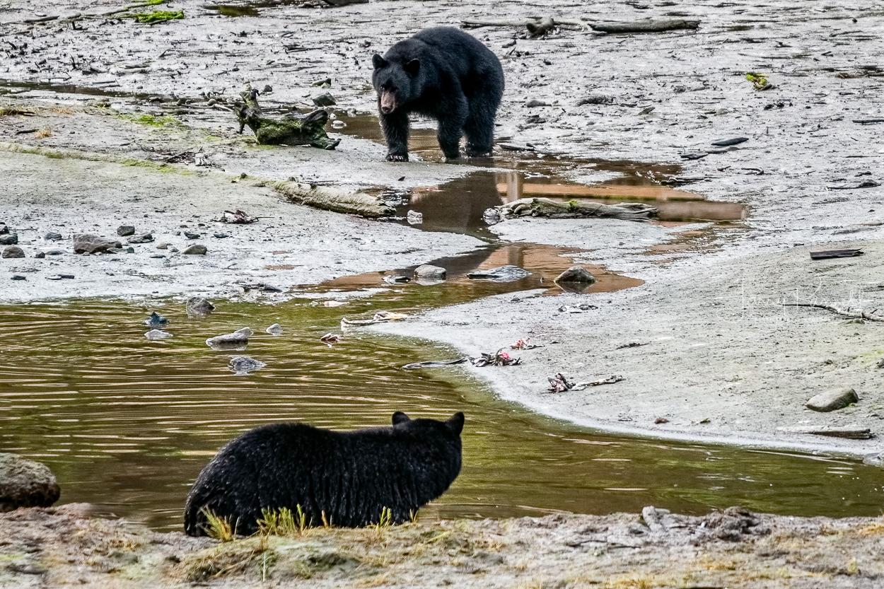 D85_0430 black bears