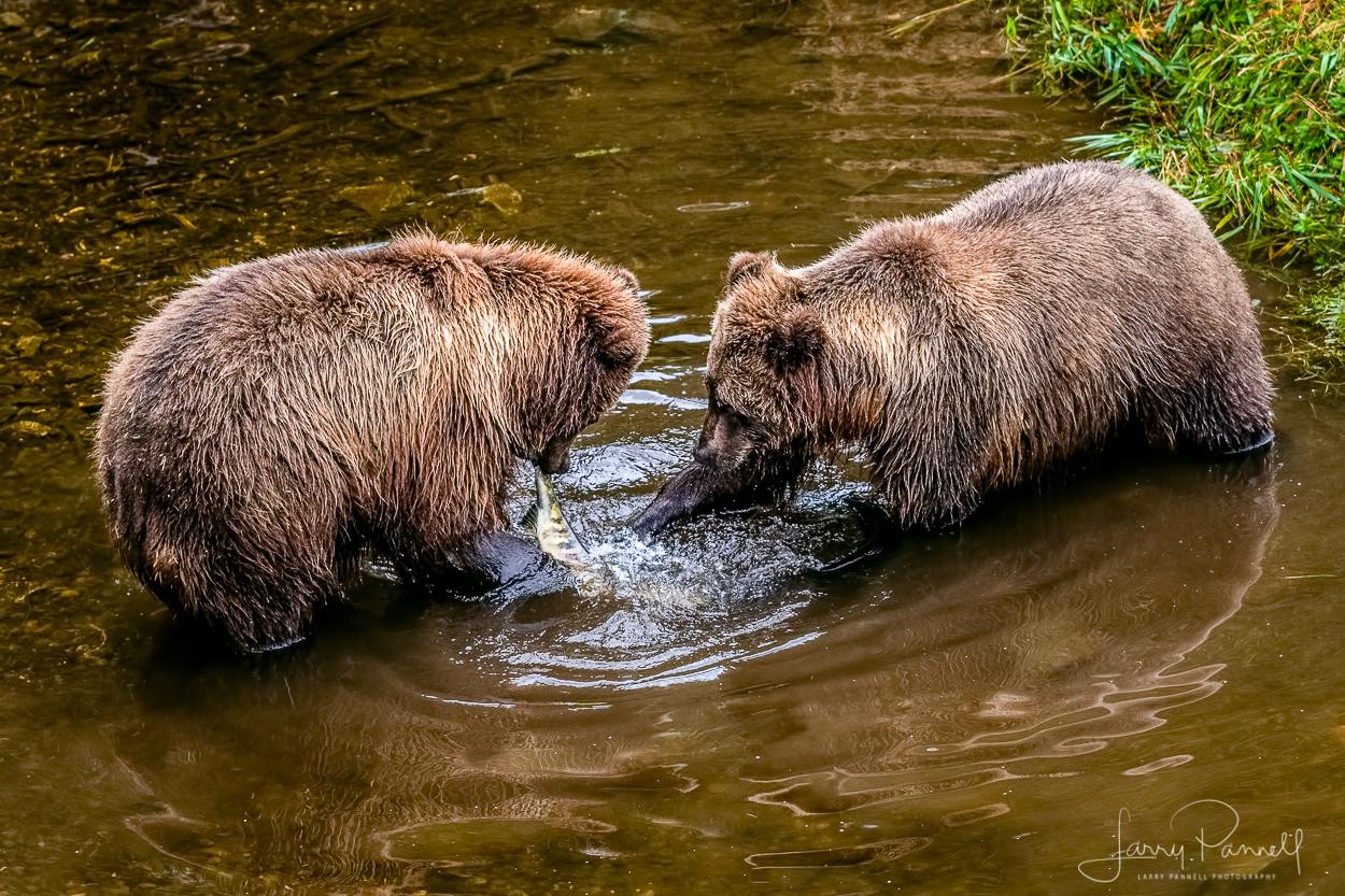 D85_0733 kodiak bears