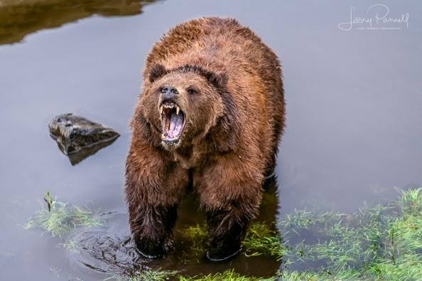 D85_0792 kodiak bear