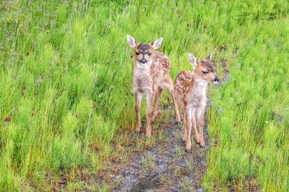 DSC_7667 sitka deer