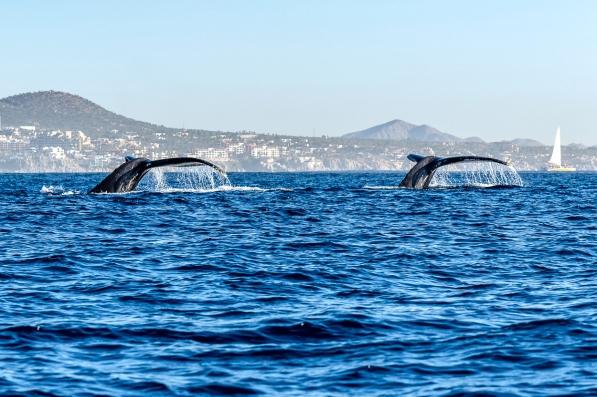 DSC_031 cabo whales